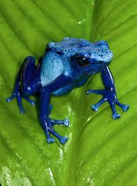 poison frog san diego zoo animals u0026 plants