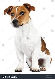 australian shepherd jack russell terrier jack russell terrier front white background stock photo 106098683