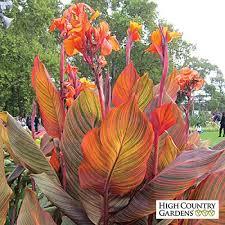 canna lilies canna tropicanna canna indica high country gardens
