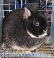Kims Rabbit Hutch Black Otter Netherland Dwarf Show Rabbit Chicky Pinterest