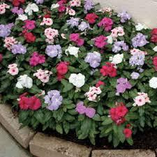vinca flowers cora mix vinca flower seeds seeds flower and flower seeds