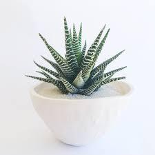 zebra plant handmade ceramic planter large cactus