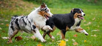 images of australian shepherd australian shepherd dog breed information puppies pinterest