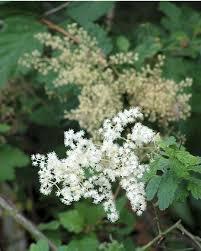 illinois native plant guide the wild garden hansen u0027s northwest native plant database