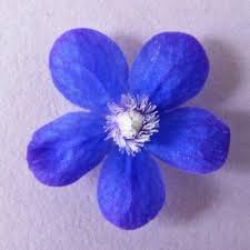 edible blue flowers edible flowers firstleafderek