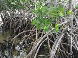 non native plants in florida impact of urbanization and coastal change on florida u0027s mangrove