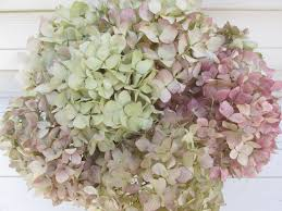 dried hydrangea flowers cream green w burgundy 8 stem bouquet