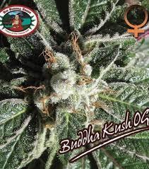 buddha kush og big buddha seeds zativo