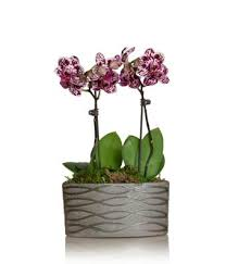 Orchid Cut Flowers - mini magenta orchid planter at from you flowers