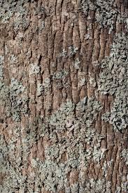 White Oak Tree Bark Tree Bark Stock Photos Royalty Free Tree Bark Images And Pictures