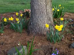 planting under a huge pine tree ask an expert
