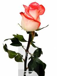 Flower Rose Fresh Pink Rose Flower Exporters Inchennai Tamil Nadu India By