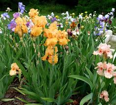 Irises How To Plant Grow by Garden Tips Enjoy More Plants In Less Space