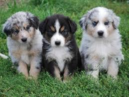 australian shepherd mix with border collie 17 beste ideer om german shepherd mix puppies på pinterest søte