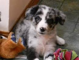 australian shepherd x border collie puppies home