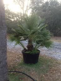 mediterranean fan palm tree mediterranean fan palm cold hardy palms bamboo