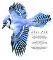 pin by karen gelender on blue jays pinterest bird animal and