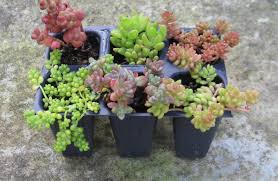 miniature garden kits simply succulents