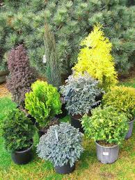 evergreen plants for small gardens cori u0026matt garden