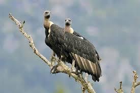 Seeking Vulture Vulture Conservation Gaining Momentum In Tamil Nadu The Hindu