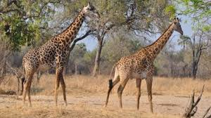 the giraffe new perspectives on a u0027well known u0027 species