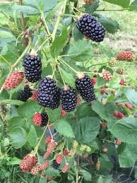 tanglewood berry farm u pick localharvest
