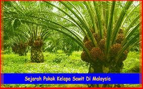 Minyak Kelapa Sawit Terkini mengetahui sejarah pokok kelapa sawit di malaysia kelapasawitnews