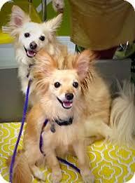 american eskimo dog brown bella and foxxy adopted dog houston tx american eskimo dog