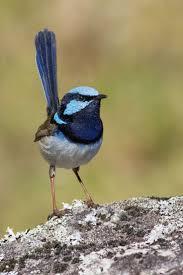 107 best bird blue wrens images on pinterest beautiful birds