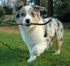 images of australian shepherd australian shepherd u2013 the happens