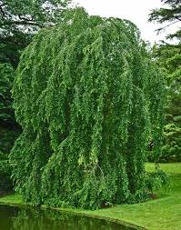 types of weeping trees hundred different types of weeping