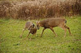 whitetail deer rut secrets outdoor life