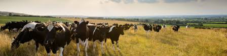 organic cows