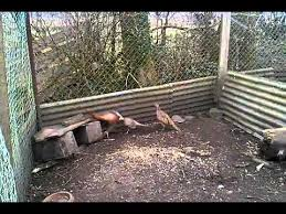 Backyard Pheasants Breeding Pheasant Youtube