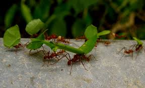 leaf cutter ants and symbiosis u2013 lifeofsci