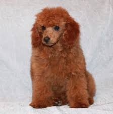 standard poodle hair styles teddy bear cut grooming styles for poodles scarlet s fancy poodles