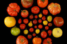 we now have the genetic recipe for making tomatoes taste like