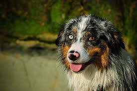 australian shepherd upkeep bernese mountain dog breed information pictures characteristics