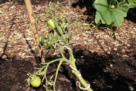 Can Cucumbers Grow Up A Trellis 5 Variations On A String Trellis For Tomatoes Bonnie Plants