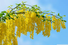 yellow flowers acacia yellow flowers 4k hd desktop wallpaper for 4k ultra hd