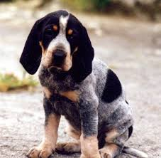 bluetick coonhound bloodlines 20 best coonhounds images on pinterest
