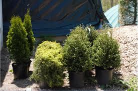 Decorative Shrubs Products Rock N U0027 Mulch Tree Farm