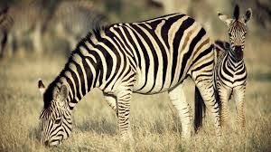 zebra mother foal ngsversion 1396530734772 jpg