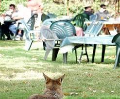 Coyote In My Backyard Coyote Hazing Guidelines For Discouraging Neighborhood Coyotes