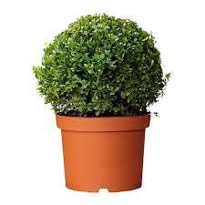 buxus sempervirens in vaso floricoltura sanguinetta