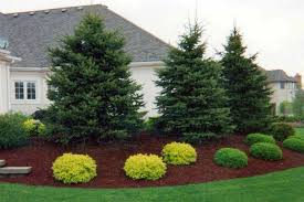 beautiful landscaping with evergreens small evergreen trees for