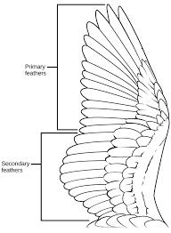 Bird Wing - birds biology ii