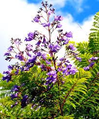 native brazilian plants jacaranda brasiliana wikipedia