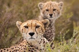online get cheap wild cheetah aliexpress com alibaba group