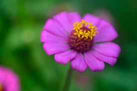 Zinnia Flower Purple Zinnia Flower Free Image Peakpx